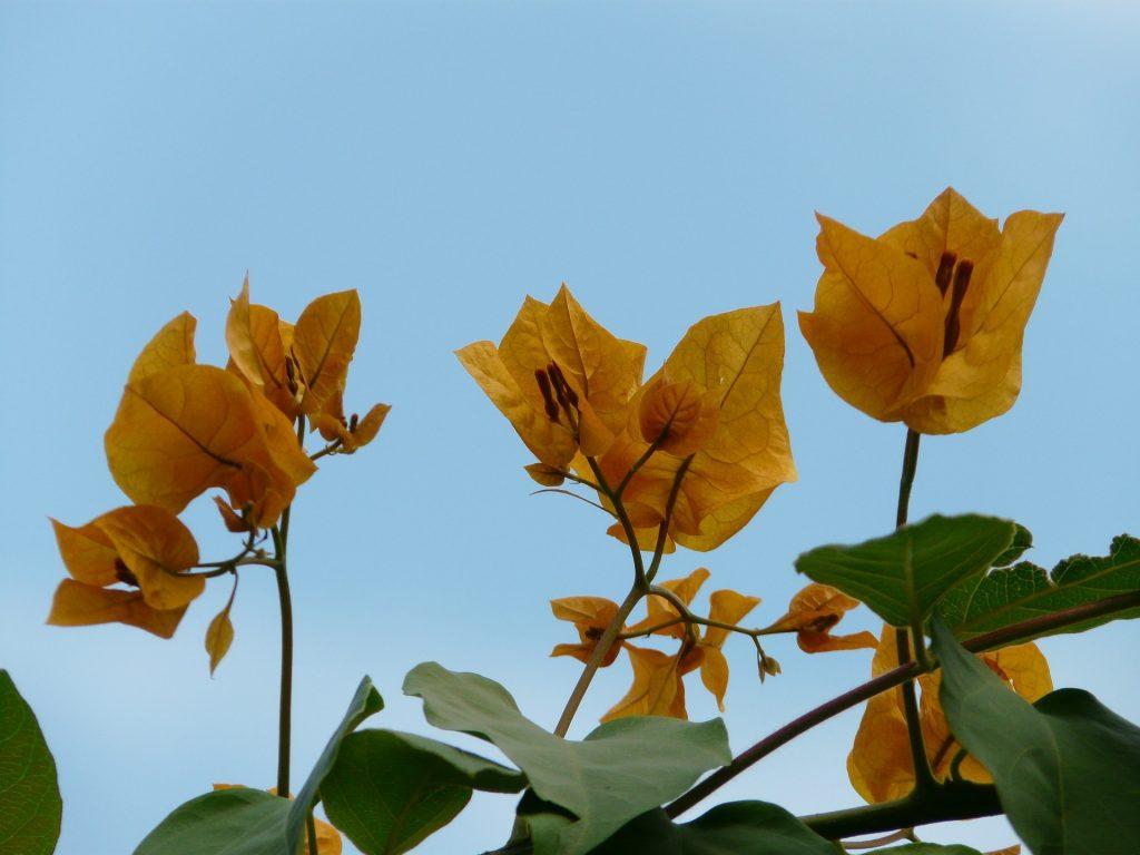 California Gold bougainvillea (bright yellow).