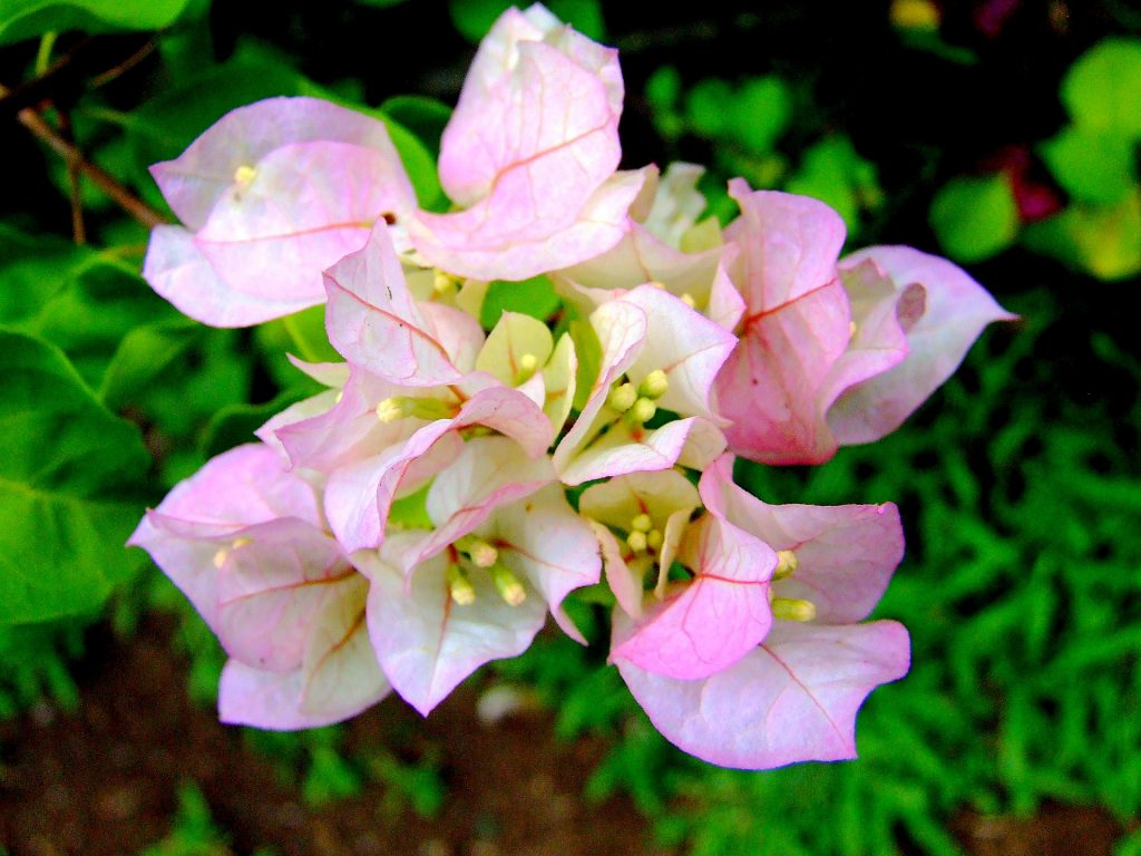 Imperial Thai Delight bougainvillea (white with a touch of pink)