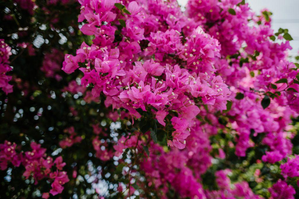 Miami Pink bougainvillea (bright pink).