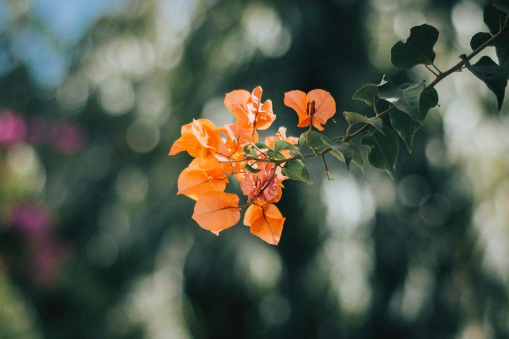 Orange King bougainvillea (bright orange).