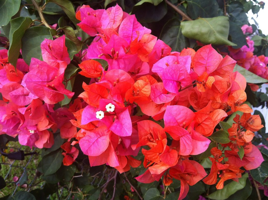 Rainbow Gold bougainvillea (pink with a touch or orange).