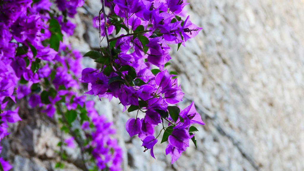 Royal Purple bougainvillea (deep purple).